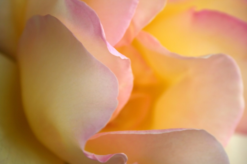 What A Rose Brings by wenbow