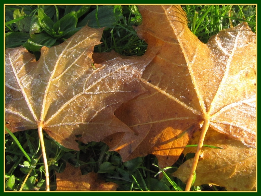 Frosty leaves by busylady