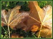 18th Nov 2012 - Frosty leaves