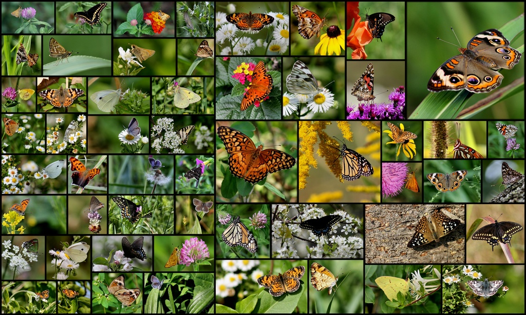 My little world of butterflies by cjwhite