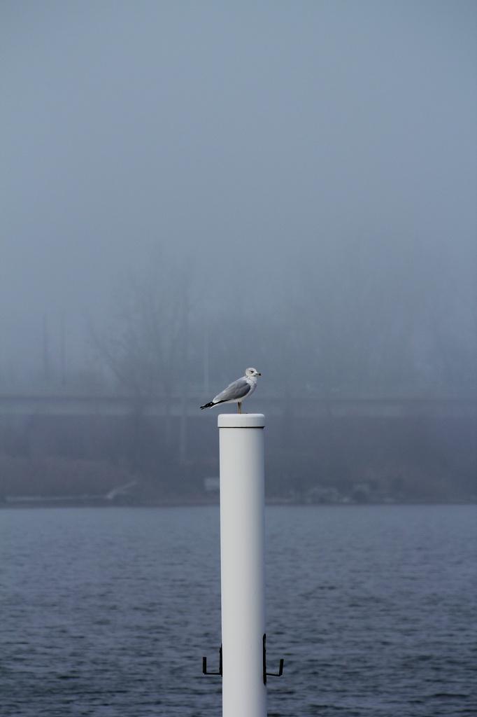 Foggy gull by edorreandresen