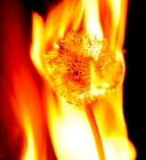 20th Nov 2012 - Dandelion Burning (colour version)
