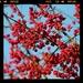 Blossom not berries by judithg