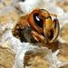 Hornet by nicoleterheide