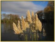 24th Nov 2012 - Pampas grasses