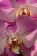 23rd Nov 2012 - Orchid overlay