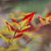 nandina domestica - heavenly bamboo  by jantan