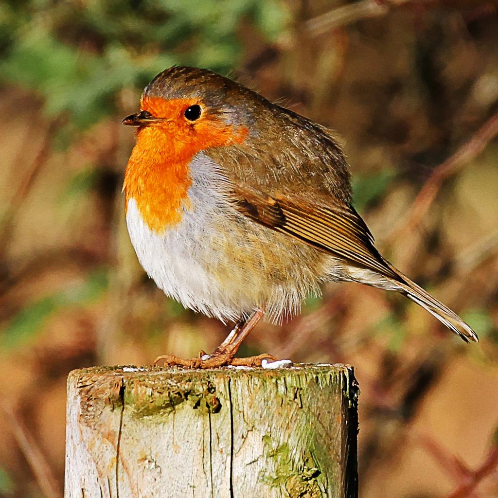 rotund robin by jantan