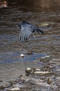 "29th Nov 2012 - ""The Raven"""