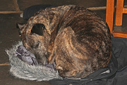 29th Nov 2012 - yes that is my coat that the dog has pulled off the back of a chair and gone to sleep on