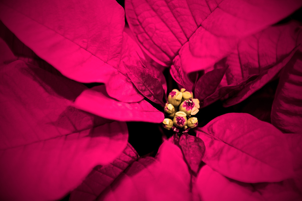 Pink Poinsettia by kwind