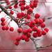 Winter's Fruit  by cindymc