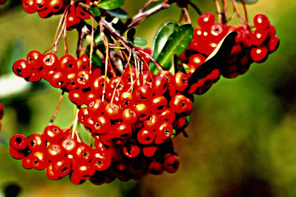 Red berries by vernabeth