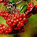 Red berries by vernabeth