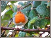 3rd Dec 2012 - Robin in the blackberry bush
