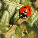 ladybird, ladybird.......... it's december! by jantan