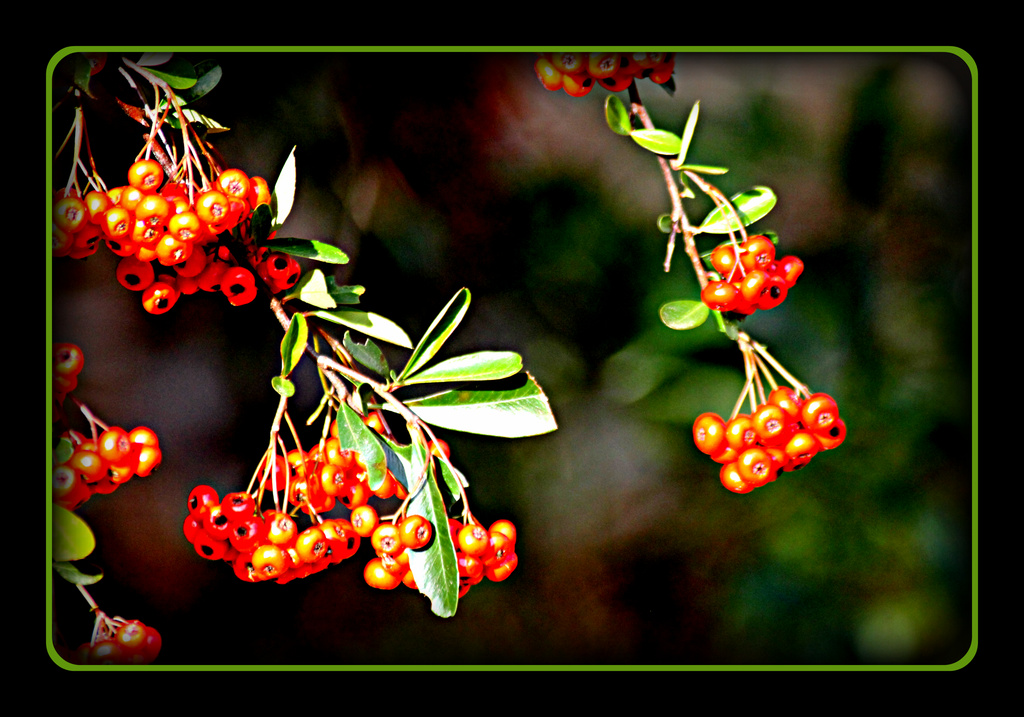 More berries by vernabeth