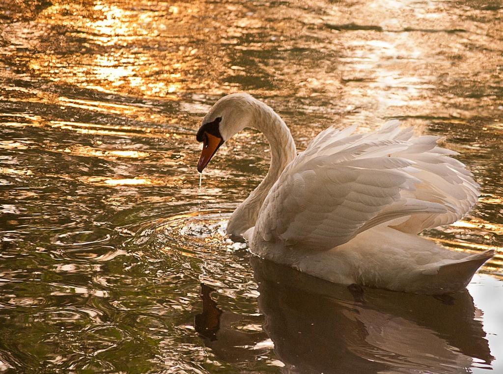 Swan by netkonnexion
