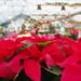 Poinsettia Shopping: CHECK by vickisfotos