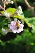 22nd Jul 2010 - Bumble bee