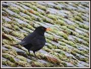 6th Dec 2012 - Friendly Blackbird
