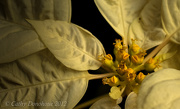 6th Dec 2012 - White Poinsettia