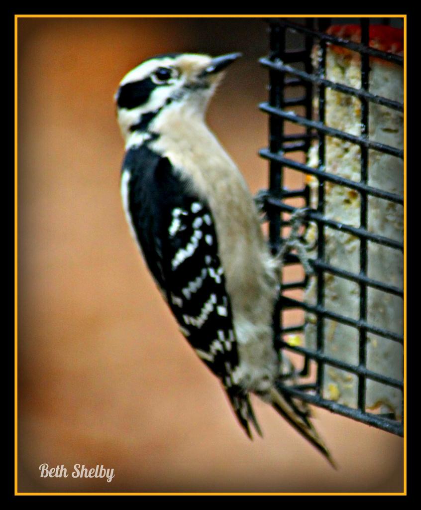 Woodpecker by vernabeth