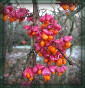 9th Dec 2012 - Spindle-berry flowers