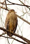 9th Dec 2012 - Night Heron ?