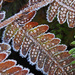 frosty fern by jantan