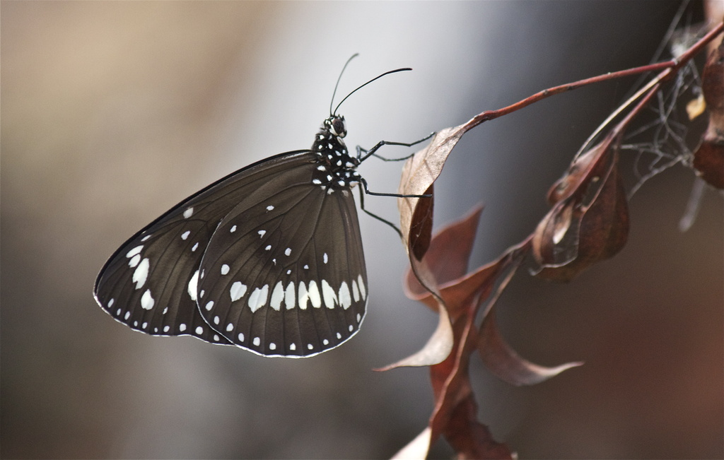Common crow butterfly by sugarmuser
