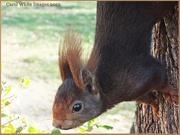 11th Dec 2012 - Red Squirrel