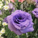 Purple Rose? by artseyanne