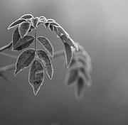11th Dec 2012 - frosted rose leaves