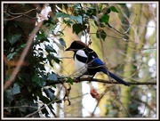 11th Dec 2012 - Magpie on Monday