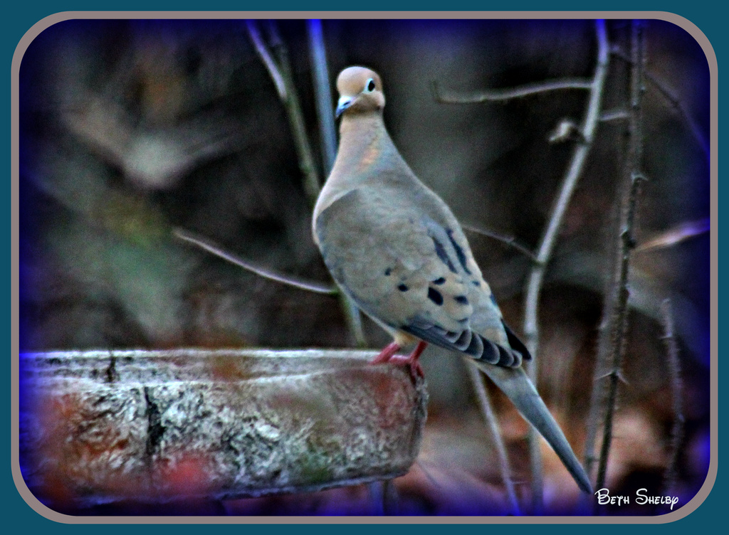 Mourning Dove by vernabeth