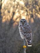 11th Dec 2012 - Barred Owl