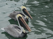 11th Dec 2012 - Pelicans at the dock waiting for fish