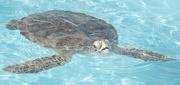 12th Dec 2012 - Loggerhead Sea Turtle