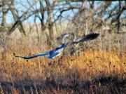 13th Dec 2012 - Blue Heron in Flight