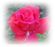 15th Dec 2012 - A Rose