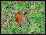 15th Dec 2012 - Robin in the grass