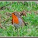 Robin in the grass by rosiekind
