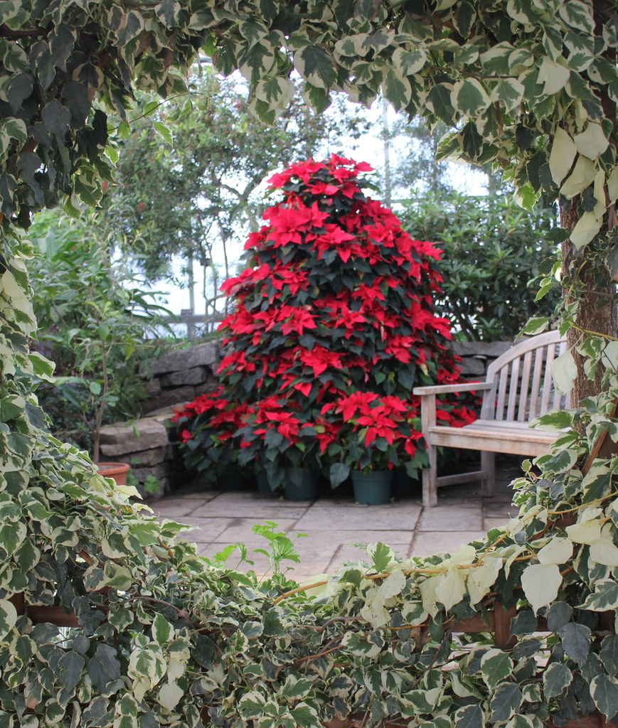 Variegated Ivy and Poinsettia by landownunder