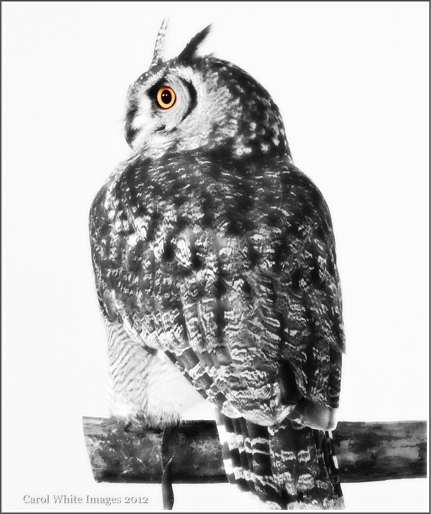 European Eagle Owl 1 by carolmw
