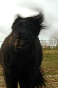15th Dec 2012 - Just for fun: The pony who's shaking his head