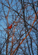 17th Dec 2012 - Cardinal on Sunlit Branches
