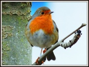 18th Dec 2012 - A robin in Priory Country Park