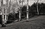 18th Dec 2012 - Life's a Birch