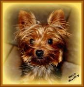 7th Dec 2012 - My Yorkie Granddog,Bear